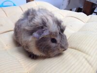 Male baby guinea pig ready to reserve