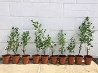 10 x privet bushes