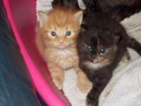 GINGER MALE KITTEN AND FEMALE TORTOISESHELL KITTEN KITTENS
