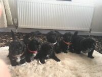 Lhaso poo(f1) pups for sale 2 girls 4 boys from our family pet Rosie