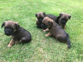 Border terrier puppies Kc registered
