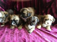shorkie puppies 4sale
