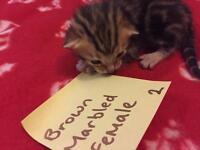 LAST Bengal kitten left to reserve