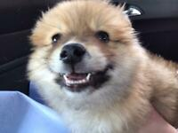 It is with a heavy heart I have to sell my 9 week male Pomeranian