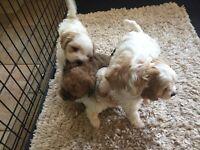 F1 Cavachon Puppies 2 left 1 Boy 1 Girl