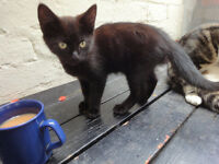 2 adorable black kittens £30 each to secure a loving and caring home