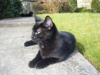 Lost Black Cat Harrogate
