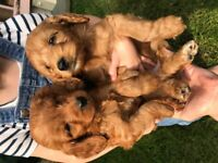 Gorgeous Red F1 Cockerpoo puppies