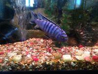 Cichlids, catfish, fire mouths, fish tank