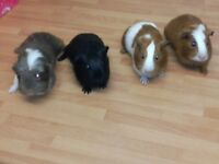Lovely baby Guinea pigs looking for a home. Well handled and tame.
