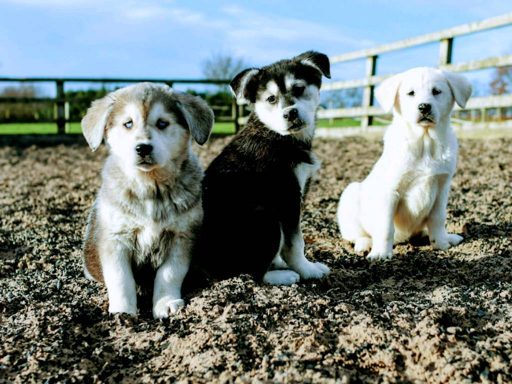 Goberian Puppy Golden Retriever X Siberian Husky In Crewe Cheshire Gumtree