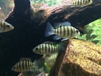 Tropical Fish - Spotted Tilapia (Tilapia Mariae) Fry (Fingerlings)