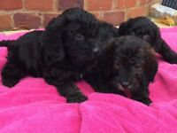 Beautiful Cockapoo puppies have arrived
