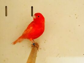 Intensive Red Canaries for sale