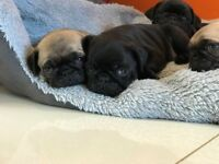 Pug Puppies For Sale Girls And Boys Fawn And Black Pure Breed Full Pedigree Will Be Ready 21/10/17