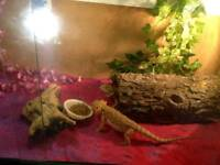 Female bearded dragons