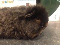 Guinea pigs long hair and short hair