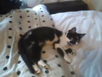 8 MONTH OLD FEMALE KITTEN SPAYED AND VACCINATED RECENTLY FOR SALE