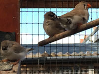 6 zebra finches for sale