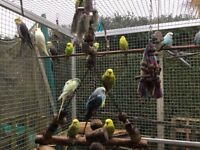 Tamed Budgies For Sale! Going Quick. Lots Of Different Colours To Choose From...