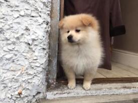 Pomeranian Puppies - White & Cream