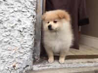 Pomeranian Puppies - White & Cream