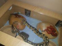 2 year old male pastel royal python