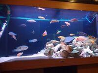 Malawis fish