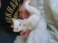 LAST WHITE MALE KITTEN.