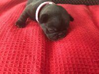 FRENCH BULLDOG PUPPIES FOR SALE 4 BOYS 2 GIRLS READY END OF JULY