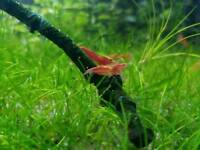 Freshwater red cherry shrimps for sale