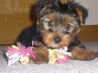 4 Little Yorkshire terrier puppies for sale