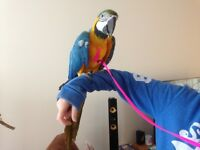 Stunning 11mnth blue and gold macaw