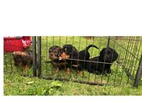 4 Gorgeous Jack-a-poo puppies looking for there forever home.