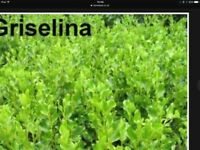Griselinia Hedging Plants. 30 ins. £2.50