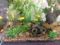 Yellow Labidochromis ( Malawi cichlids)