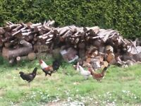 cross breed bantams pullets for sale