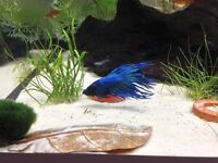 Male Betta Fish - free to good home!