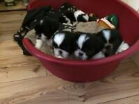Kc registered Shih Tzu puppy's