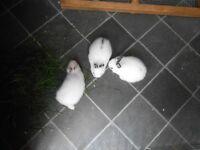 Dwarf hotot rabbits