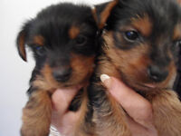 Yorkshire Terrier cute puppies
