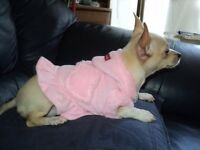 small female chihuahua puppy - fully inoculated