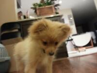 Pomoranian Male 5 month old