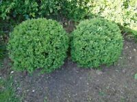 Plants for sale. 2 box balls. Approximately 50cm diameter.