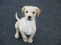 KC Registered Yellow Labrador Puppy