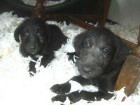 Bedlington whippet pups
