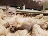 Birman pedigree Cat