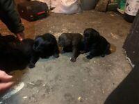 Purebred Labrador pups