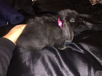 8 week old girl mini lop for sale. Cost £60