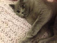 Blue British Short hair pedigree kitten